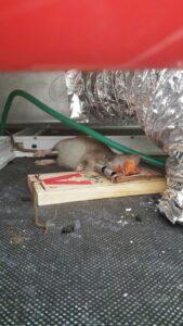 לוכד עכברים וחולדות במרכז