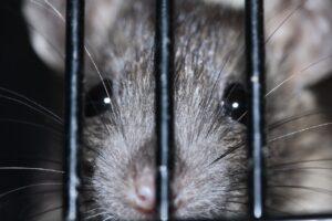 מחיר הדברת מכרסמים חולדות ועכברים