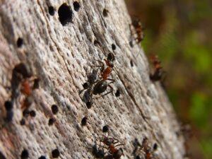 נמלים קטנות בעץ