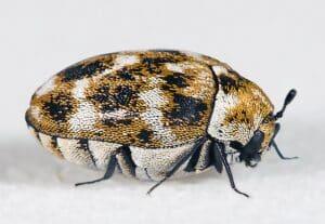זיהוי חרקים - זחל של עורית השטיחים