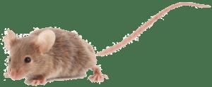 הדברה נגד עכברים בבית או בגינה תמונה